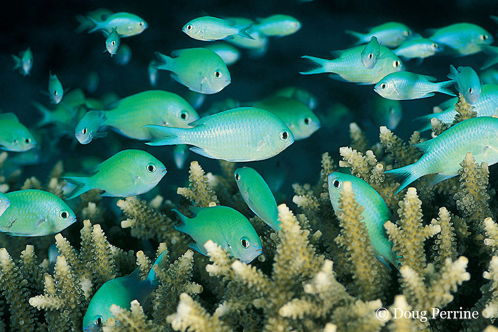green chromis or damselfish, or blue-green puller, Chromis viridis, stay close to shelter in branches of Acropora coral, Great Barrier Reef, Australia