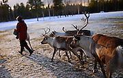In the Reindeer farm of Tuula Airamo, a S·mi descendant, by Muttus Lake. Inari, Lapland, Finland