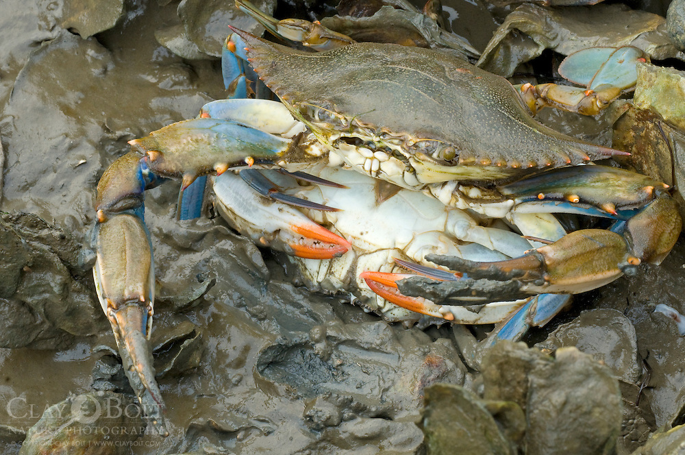 Blue Crabs, Intracoastal Waterway, McClellanville, SC