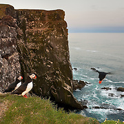 An Atlantic puffin (Fratercula arctica) dives off the Látrabjarg bird cliff in Iceland in search of food. Millions of birds, including Atlantic puffins, northern gannets, guillemots and razorbills, breed on the cliff in the summer. Látrabjarg is the western-most point in Europe and its largest bird cliff. It's 14 km (8.6 imles) long and as much as 440 meters (1,444) feet high.