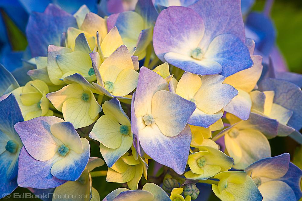 yellow and blue Nikko Blue Hydrangea (Hydrangea macrophylla) macro