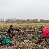 Farmers harvest beets in fields just outside of Warsaw, Poland