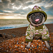 Boo the Pug sits on Brighton beach at sunset wearing a camouflage jacket.
