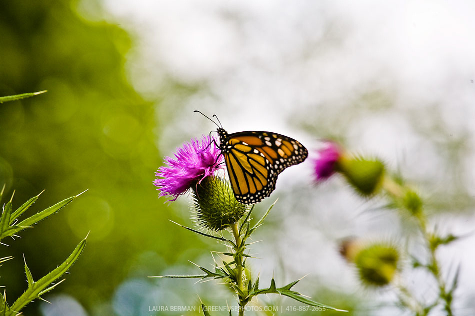 Monarch butterfly ( Danaus plexipuss)  on a Canada Thistle (Cirsium arvense).