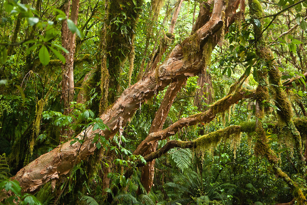 Ruddy, papery bark peels from the trunk and branches of the Kotukutuku tree, a New Zealand native variety of fuchsia, along with hanging mosses and epiphytic ferns