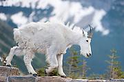 Mountain Goat, Glacier National Park
