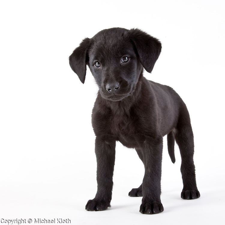Black Labrador Puppy White Background Black Labrador Retrevier Puppy