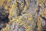 Detail of Lichen covered Greywacke sea cliffs at Portpatrick