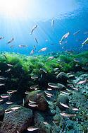 Mexican Tetra<br /> <br /> Jennifer Idol/Engbretson Underwater Photography