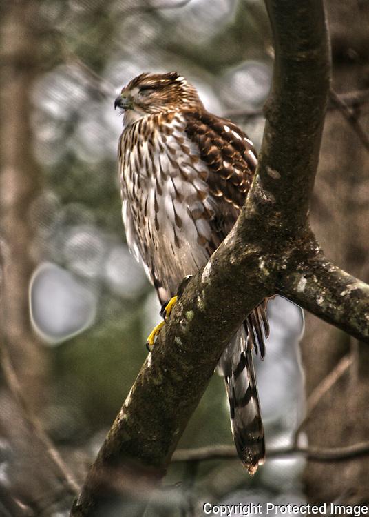Coopers Hawk in oak tree