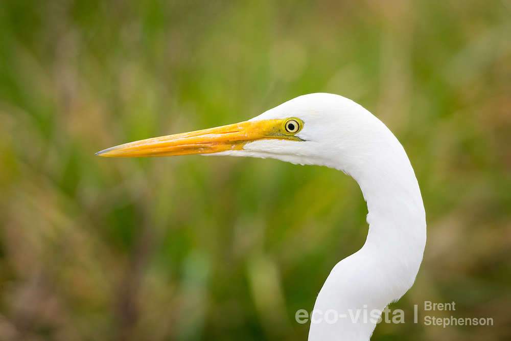 A great egret or white heron (Ardea alba modesta) in non-breeding plumage, with yellow bill and facial skin, closeup showing these details and the kink in the neck characteristic of this species. Muddy Creek, Hawkes Bay, New Zealand. September.