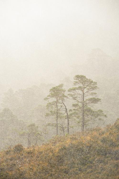 Pines in rain, Beinn Eighe NNR, Torridon, Scotland