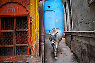 Cow roaming the back streets besides Ganges, Varanassi, India