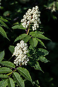 Alaska.  Two clusters of Red Elderberry blossoms (Sambucus racemosa) amid green foliage in Anchorage in late May.  Berries are not considered edible.