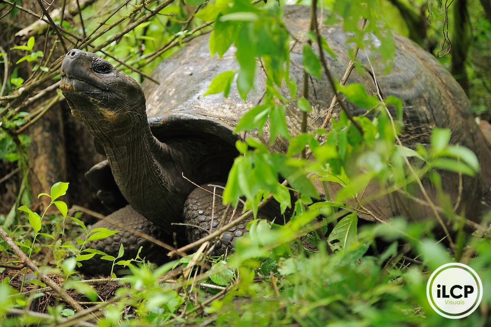 Galápagos tortoise or Galápagos giant tortoise (Chelonoidis nigra), Santa Cruz island, Galapagos, Ecuador.