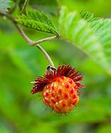 The Hawaiian Raspberry (Rubus hawaiensis) loves to grow on the windward slopes of Haleakala on Maui, Hawai'i.