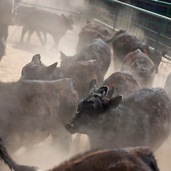 040711       Brian Leddy.Calves are herded into a pen on the Padres Mesa Demonstration Ranch during a roundup last Friday.