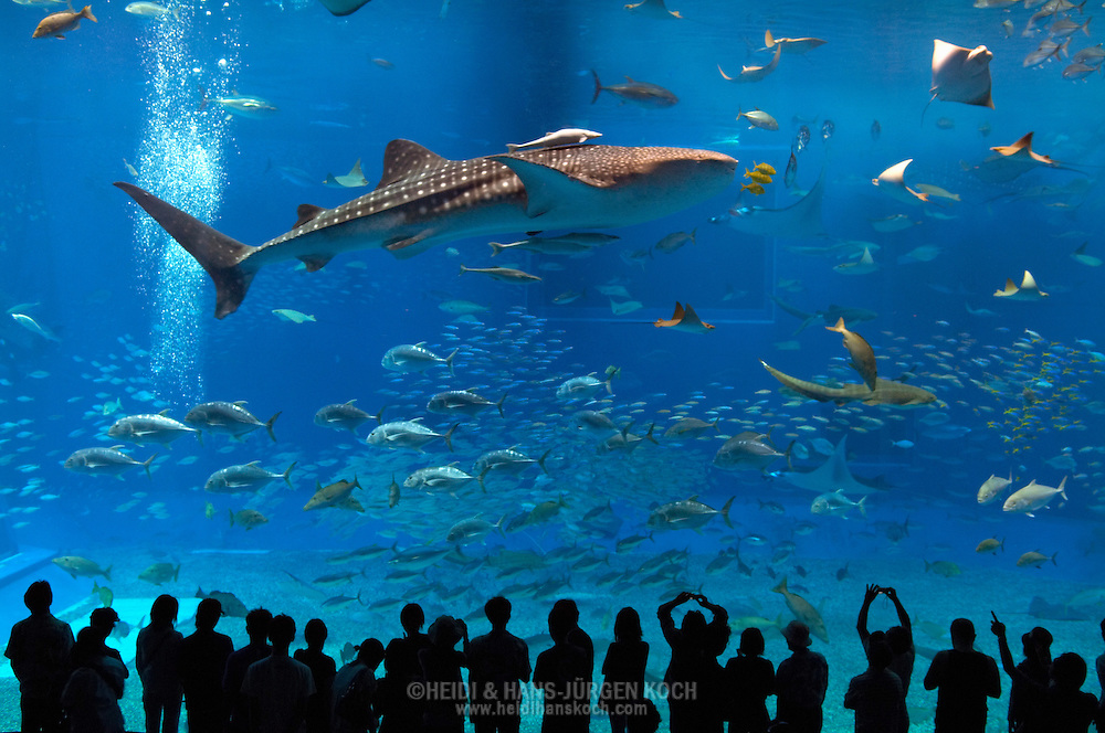 Whale Shark The Largest Fish Of The World Swimming Behind