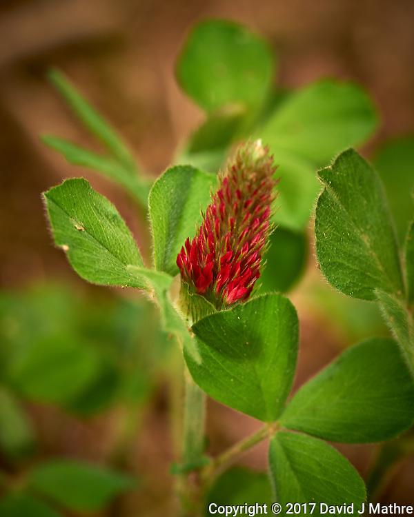 Italian Clover, crimson clover (Trifolium incarnatum). Backyard spring nature in New Jersey. Image taken with a Nikon Df camera and 105 mm f/2.8 VR macro lens (ISO 100, 105 mm, f/8, 1/125 sec).