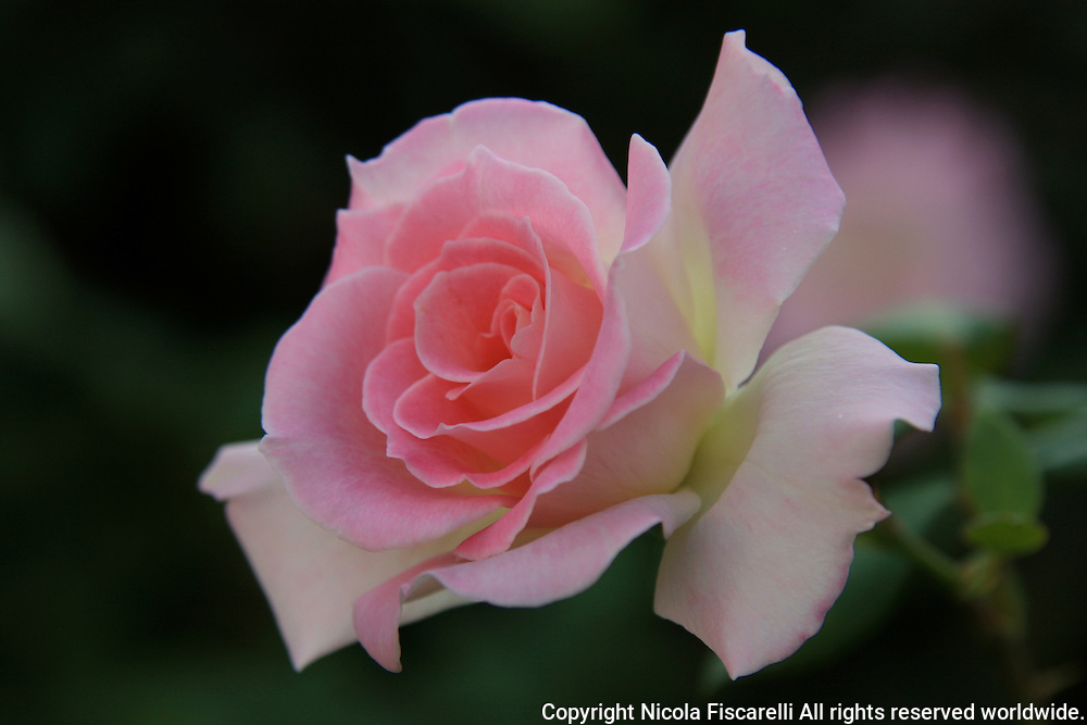 A close-up of a pink colored Rose flower ,with the dark green color background.