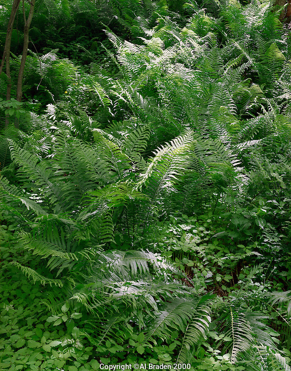 Lush ferns and undergrowth near Connecticut River bank at Hinsdale, NH