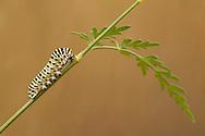Common Swallowtail (Papilio machaon britannicus) caterpillar, feeding on Milk Parsley, The Broads N.P., Norfolk, England