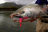 Coho (Silver) Salmon Stock Photos