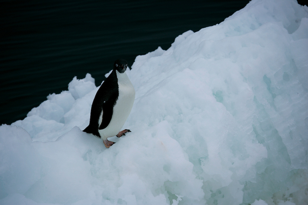 Feb. 8, 2007. Southern Ocean. An Adelie Penguin stands atop an iceberg in the Ross Sea.