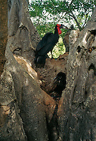 Southern ground hornbill (Bucorvus cafer) in a large tree.