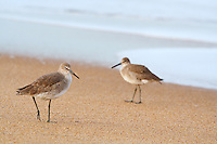 Two willet's (Catoptrophorus semipalmatus) , standing on beach. Willets are large sandpipers commonly found on the Outer Banks beaches in the fall and winter month's.