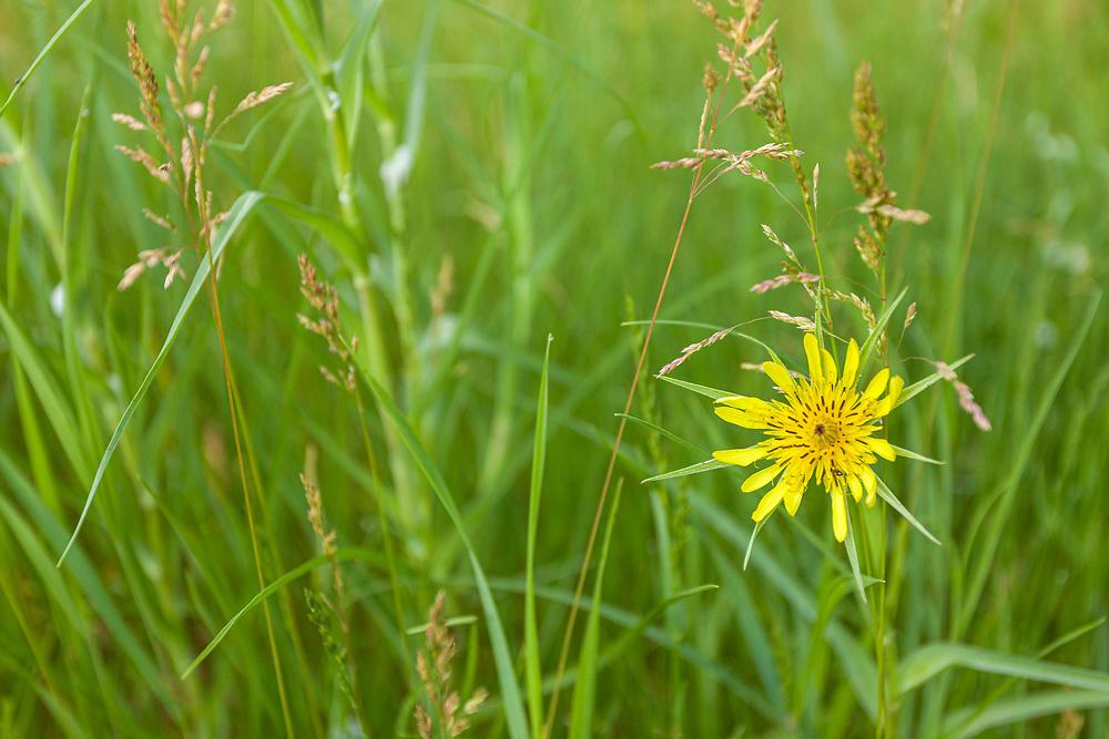 Goatsbeard (Tragopogon dubius) flowering in grass