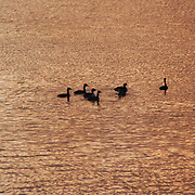 Ducks swimming in the Newport Harbor in Oregon at sunset. The color from the sunset reflects off of the water providing a beautiful contrast with the ducks.