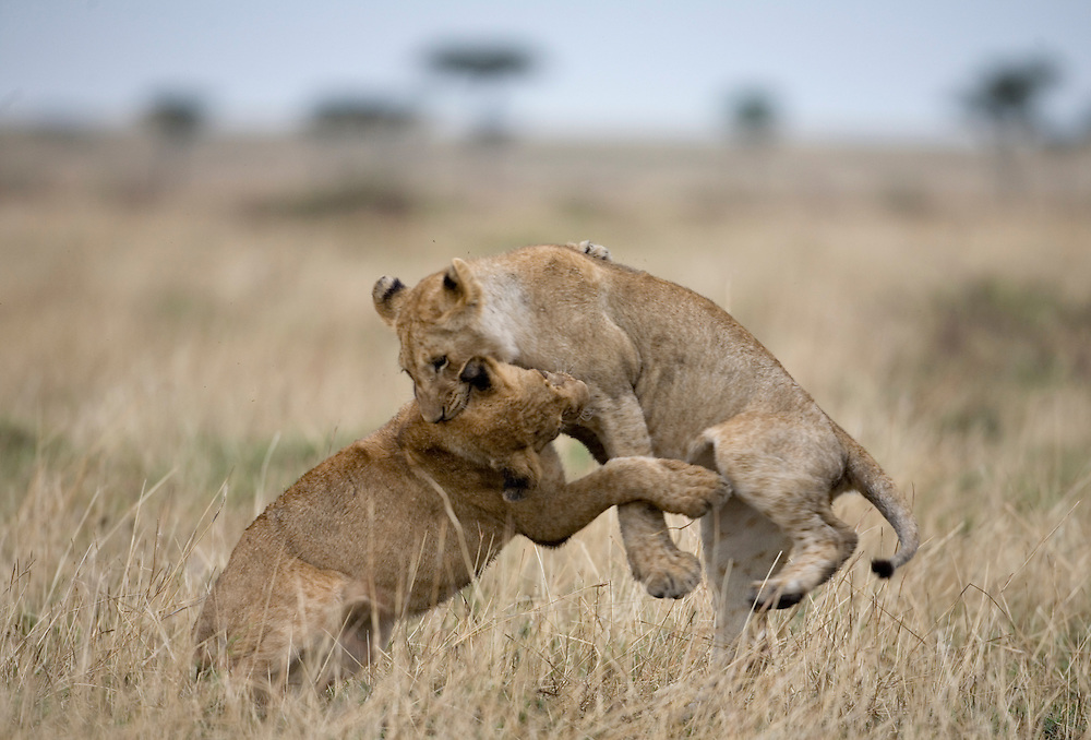 Africa, Kenya, Masai Mara Game Reserve, Young Lions (Panthera leo) leap while playing and running in tall grass on savanna