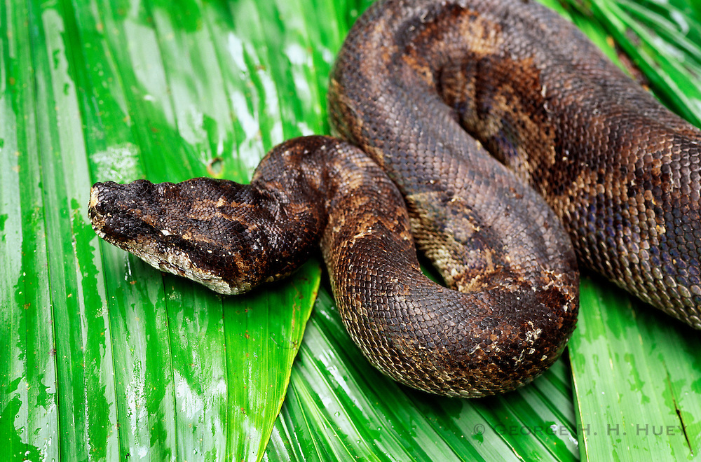 356203-1036 ~ Copyright:  George H. H. Huey ~ Boa constrictor {Constrictor constrictor crophias], locally known as 'tete chien' in Creole.  They are found in a variety of habitats: the rainforest, and Cabrits National Park,  Dominica.