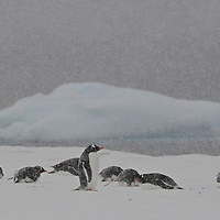 Gentoo Penguin ( Pygoscelis papua )  rookery in a snow blizzard at Yankee Harbour.