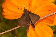 Ocala Skipper (Panoquina ocala)<br /> TEXAS: Victoria Co.<br /> Airport Gardens; Victoria<br /> 15.Nov.2009<br /> J.C. Abbott