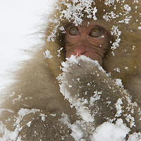 Big-eyed, snow-covered baby snow monkey (Macaca fuscata), Honshu Island, Japan.