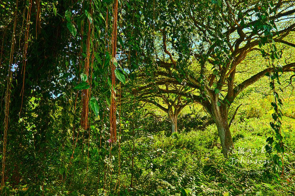 Tropical rain forest, Oahu, Hawaii, USA