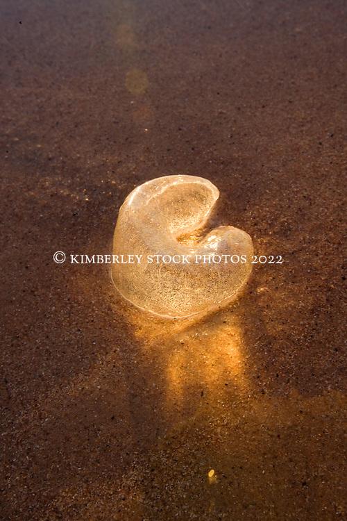 The eggcase of a moonsnail on Riddell Beach, near Broome Port