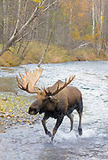 Alaska; Autumn bull moose(Alces alces) running in Campbell Creek, Anchorage.