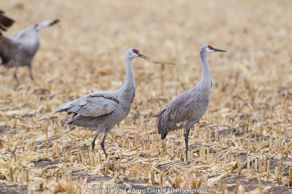 Sandhill crane, Grus canadensis, corn field, near Platte River, during spring migration, Grand Island, Nebraska.