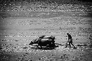 Farmer ploughing his paddy field with buffalo.