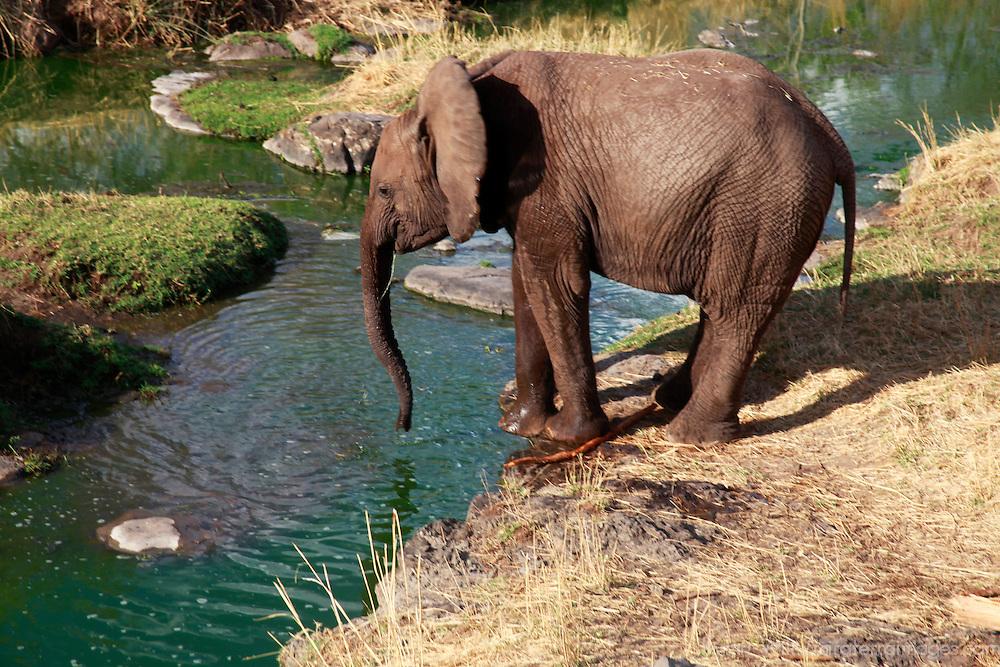 Africa, Zimbabwe, Victoria Falls. Elephant at water.
