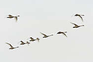 A flock of Tundra Swans (Cygnus columbianus) getting ready to land for a day of foraging on Susitna Flats State Game Refuge near Beluga  in Southcentral Alaska during the spring migration. Afternoon
