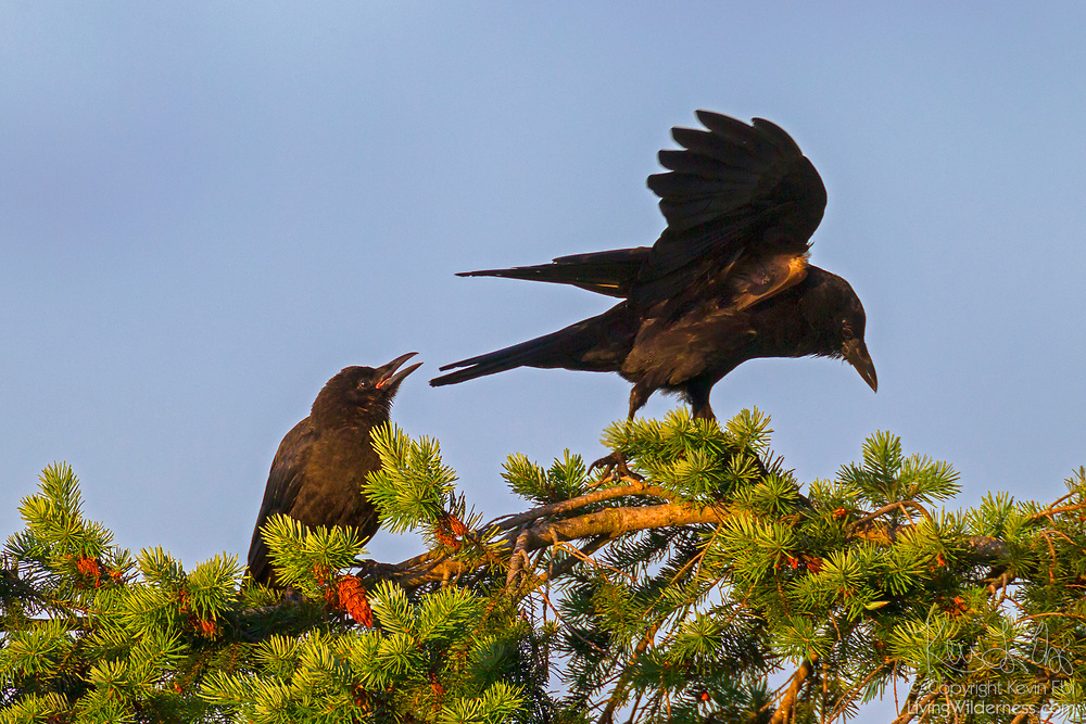 An American crow (Corvus brachyrhynchos) calls at another one that has landed on its perch at the top of a Douglas fir tree in Kirkland, Washington.