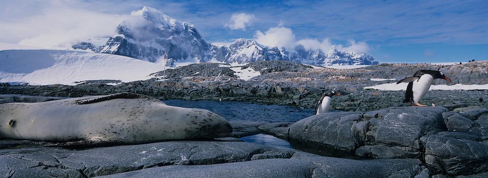 Antarctica, Wiencke Island, Gentoo Penguins (Pygoscelis papua) walk past sleeping Leopard Seal (Hydrurga leptonyx) at Port Lockroy