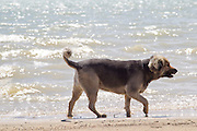 German Shepard mixed breed dog walking by a lake in New Mexico