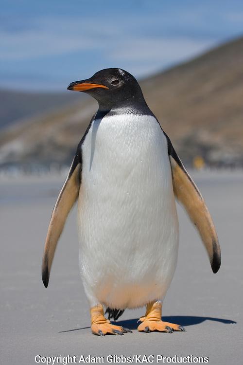 Gentoo penguin adult standing; Falkland Islands; Gentoo penguin; Pygoscelis papua; Saunders Island; South America