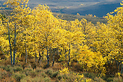 Aspen trees near Fish Lake, Steens Mountain, eastern Oregon.