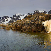 Norway, Svalbard, Spitsbergen Island, Polar Bear (Ursus maritimus) standing on rocky island in Fuglefjorden (Bird Fjord) on summer evening